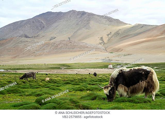 Yak. Nomads campsite during their summer festival in Tso Moriri lake, Ladakh (India)