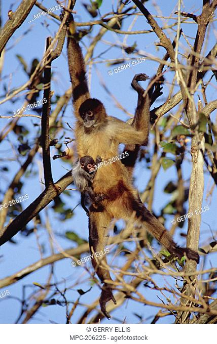 BLACK-HANDED SPIDER MONKEY  (Ateles geoffroyi), MOTHER WITH BABY  IN TREE, COSTA RICA