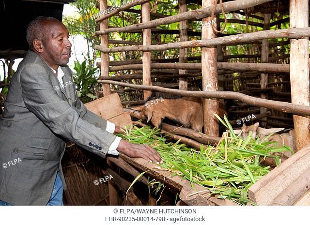 Elderly farmer feeding goats in shed, Rwanda