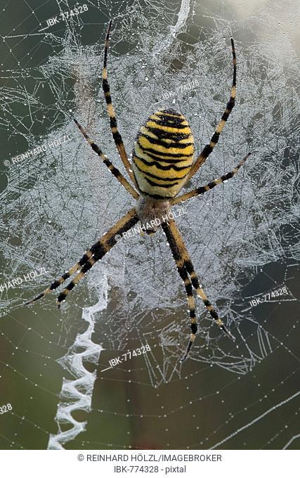 Wasp Spider (Argiope bruennichi) in its web, Filz, Woergl, Tyrol, Austria, Europe