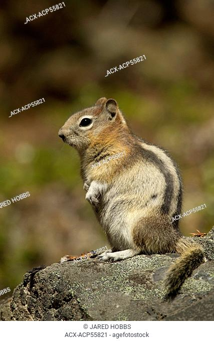 Golden-mantled Ground Squirrel, Callospermophilus lateralis, Jasper National Park, Alberta, Canada