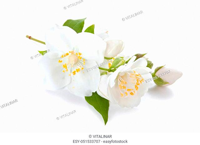 flowers of jasmine isolated on white background