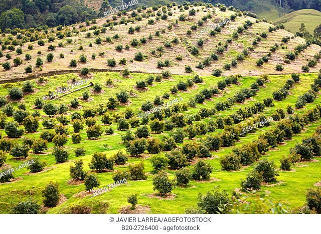 Avocado plantation, Valle del Cocora, Salento, Quindio, Colombia