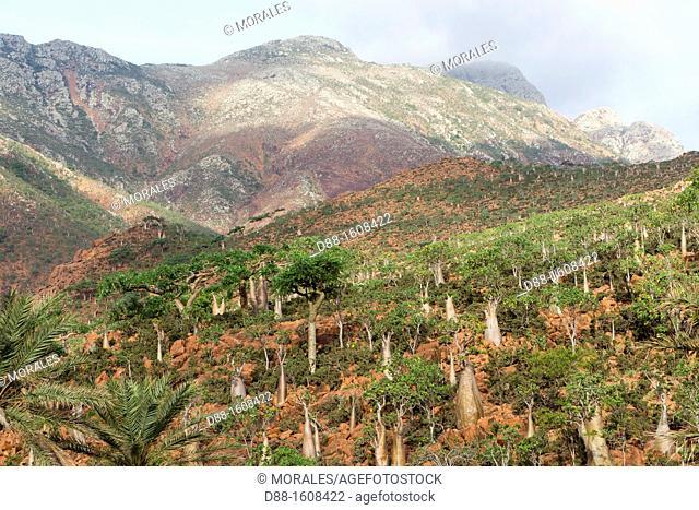 Rose of Desert (Adenium obesum ssp socotranum), Homhil plateau, Socotra island, listed as World Heritage by UNESCO, Hadhramaut governatorate, Yemen