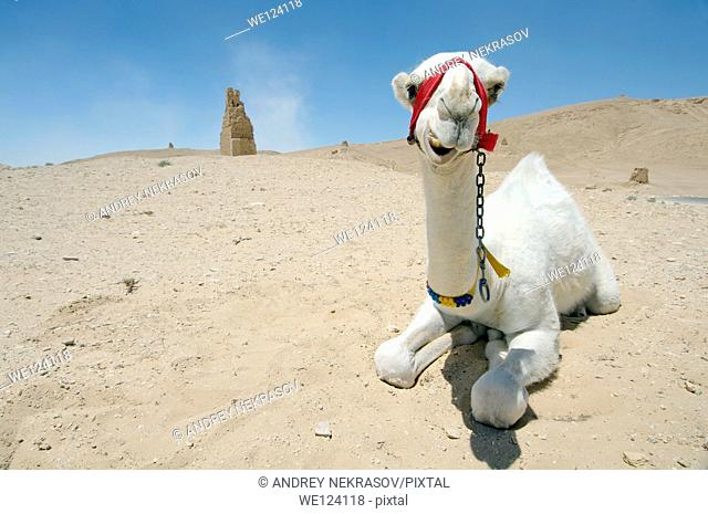 White young camel (Camelus dromedarius) lying on the sand near Tower tomb at Palmyra, Syria