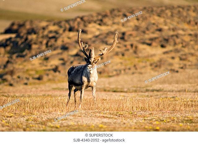 Svalbard reindeer Rangifer tarandus platyrhynchus is a small subspecies of Rangifer tarandus. An adult bull forages on the tundra, Sassenfjorden, Svalbard