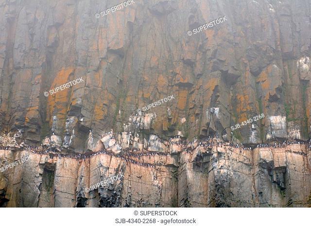 Brunnich's guillemot Uria lomvia adults nest on cliffs along Sassenfjorden in summertime, Svalbard, Norway