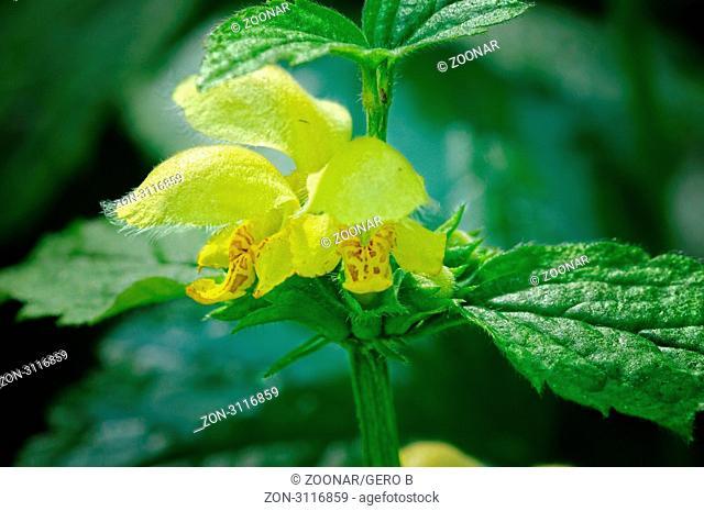 Goldnesselblüte , Gold nettle blossom