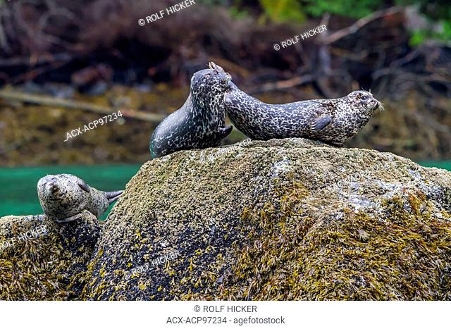 Harbour Seals (Phoca vitulina) on a rock in Knight Inlet, British Columbia, Canada