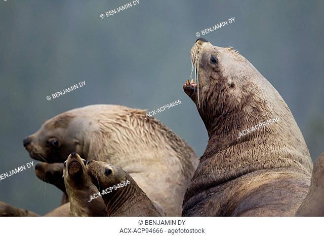Steller sea lion, Eumetopias jubatus, Male, British Colombia, Canada