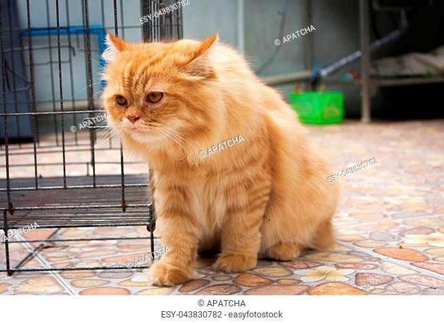Cute Orange Persian cats