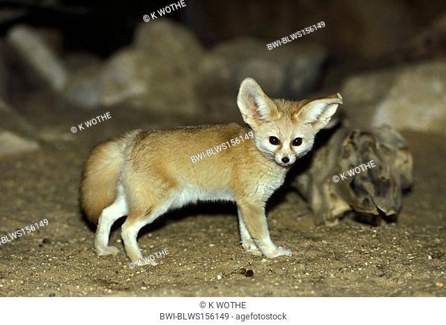 fennec fox Fennecus zerda, Vulpes zerda, standing