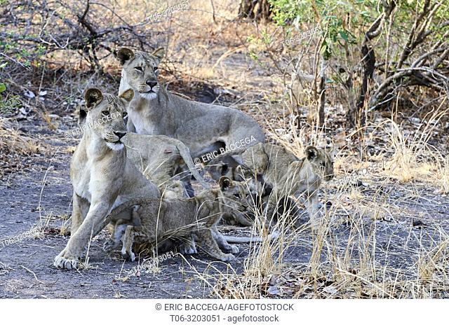 Lionesses (Panthera leo) with cubs standing in alert, South Luangwa National Park, Zambia