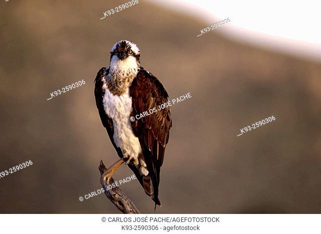 Osprey (Pandion haliaetus). Serra de Tramuntana, Mallorca, Balearic Islands, Spain