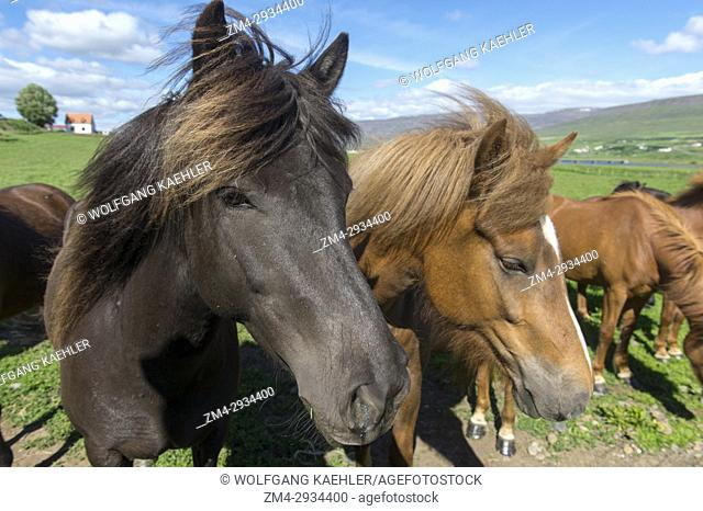 Close-up of Icelandic horses on a pasture near Akureyri, northern Iceland
