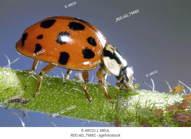 Multicolored Asian Lady Beetle with prey Harmonia axyridis Multicolored Asian Lady Bird