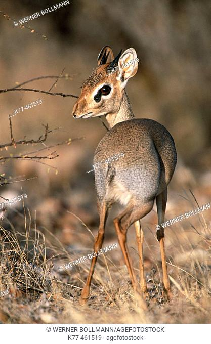 Guenther's Dik-Dik (Madoqua guentheri). Male, marking his territory with a secretion from a gland at his head. Samburu National Reserve, Kenya