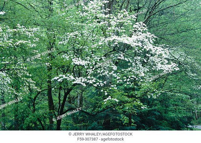 Dogwoods (Cornus sp.). Great Smoky Mountains National Park. Tennessee, USA