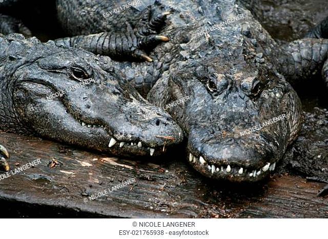 Zwei Alligatoren