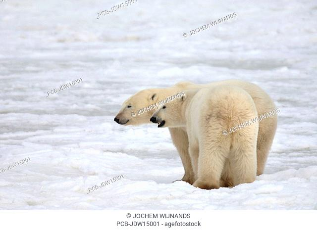 Manitoba, Polar bears meeting near Churchill while waiting for the ice to freeze over