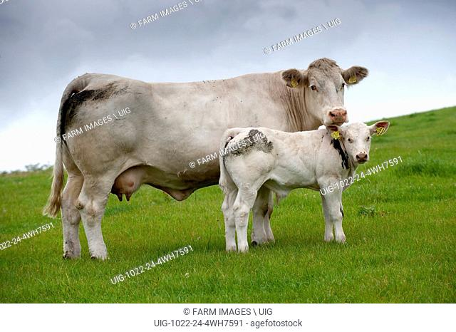 Charolais cow and calf in pasture. (Photo by: Wayne Hutchinson/Farm Images/UIG)