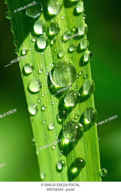 Day-lily (Hemerocallis hybr.) leaf with water drops
