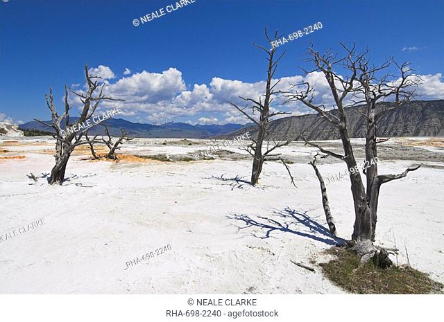 Dead tree trunks, Canary Spring, top Main Terrace, Mammoth Hot Springs, Yellowstone National Park, UNESCO World Heritage Site, Wyoming, United States of America