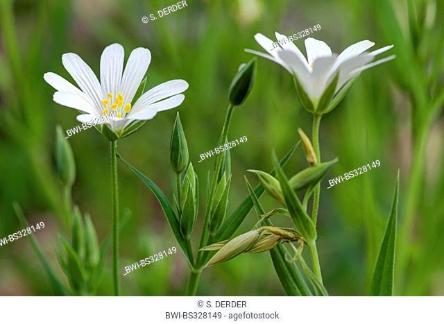 easterbell starwort, greater stitchwort (Stellaria holostea), flowers, Germany, NRW, Bergisches Land
