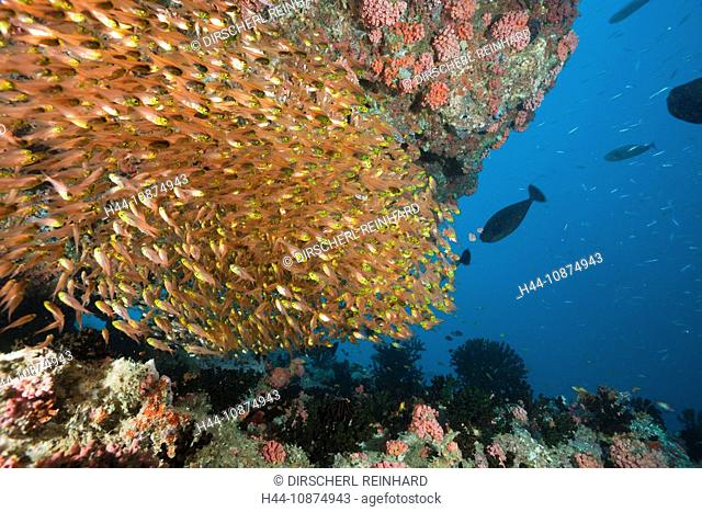 Schwarm Glasbarsche, Parapriacanthus, Ellaidhoo Hausriff, Nord Ari Atoll, Malediven, Schooling Pygmy Sweeper, Parapriacanthus, Ellaidhoo House Reef