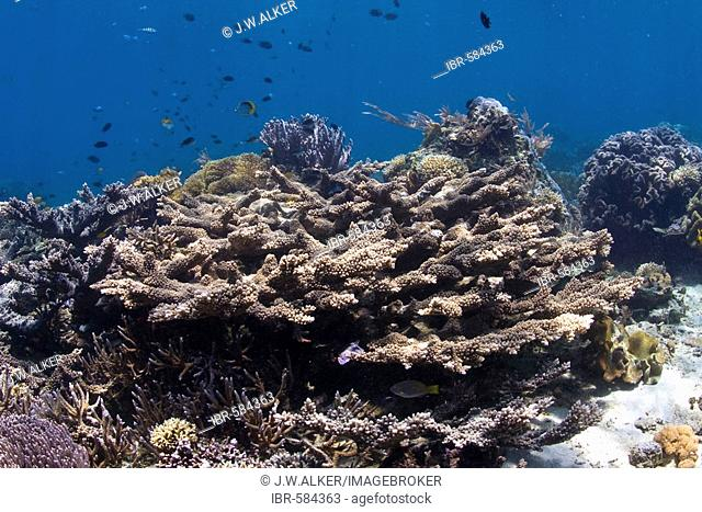 Coral reef in the underwater national park of Bunaken, Sulawesi, Indonesia