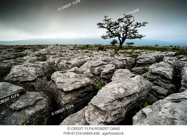 View of limestone pavement with Common Hawthorn (Crataegus monogyna), Southerscales, Ingleborough, Yorkshire Dales N.P., North Yorkshire, England, June