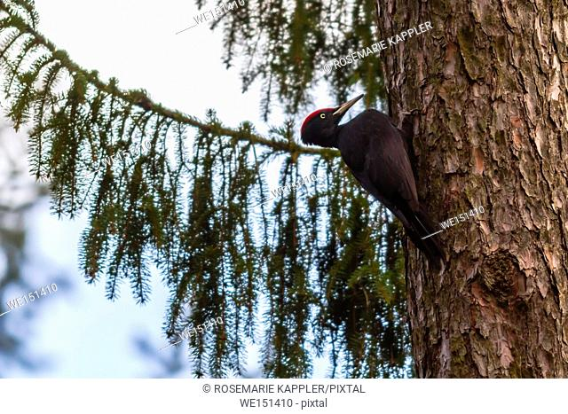 germany, saarland, homburg - A black woodpecker on a tree bole is searching for fodder