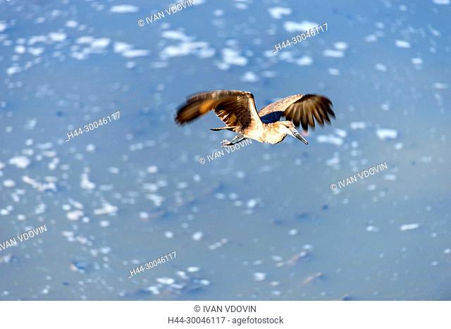 Bird in flight, Tanzania, East Africa