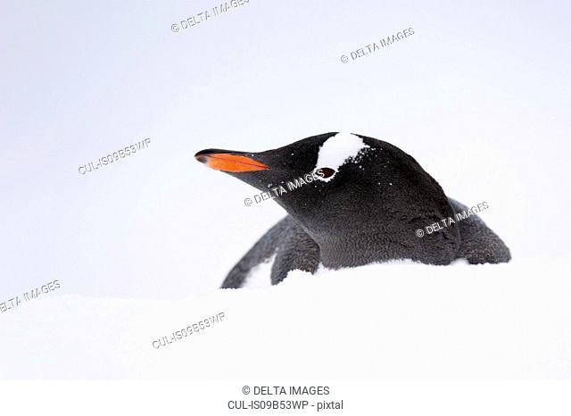 Close up of Gentoo penguin (Pygoscelis papua), Petermann Island, Antarctica