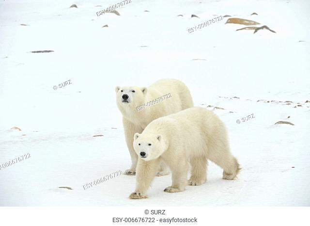 Two polar bears. Two polar bears go on snow-covered tundra one after another.It is snowing