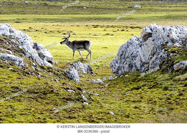 Svalbard Reindeer (Rangifer tarandus platyrhynchus), Spitsbergen Island, Svalbard Archipelago, Svalbard and Jan Mayen, Norway