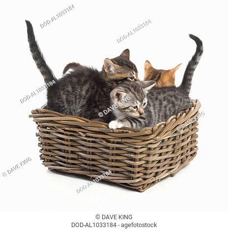 Bengal and British cross shorthair kittens, 5-week-old