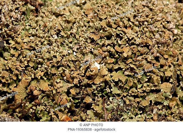 Olive cladonia Cladonia strepsilis - Landgoed Leuvenhorst, Hulshorsterzand, Ermelo, Veluwe, Gelderland, Guelders, The Netherlands, Holland, Europe