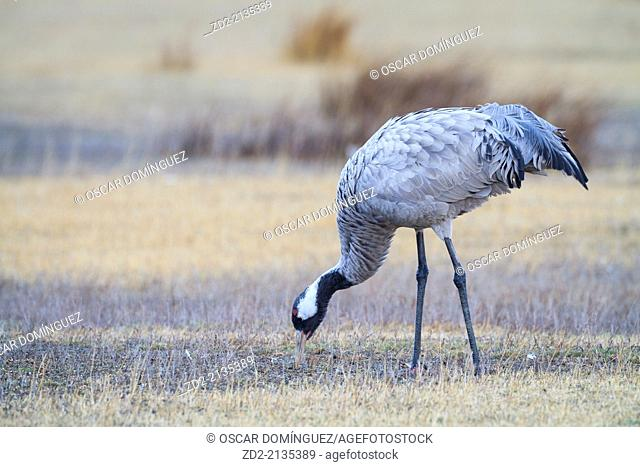 Eurasian / Common Crane (Grus grus) feeding on a field. Gallocanta lagoon. Zaragoza province. Aragon. Spain
