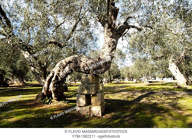 olive tree in south apulia, Italy