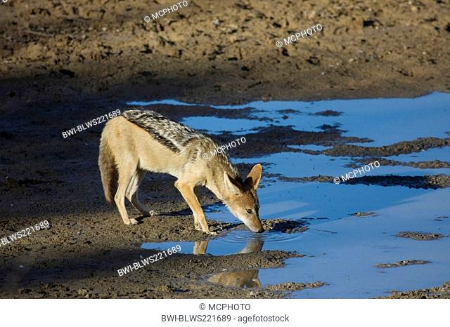 black-backed jackal Canis mesomelas, drinking, South Africa, Kalahari Gemsbok National Park
