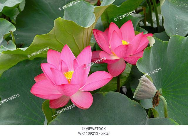 Close-up of lotus