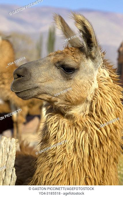 Llama (Lama glama), near to Tilcara, Jujuy, Northwest, Argentina. The llama is a domestic artiodactyl mammal of the Camelidae family