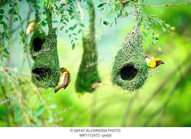 baya weaver nest indian birds wild life india