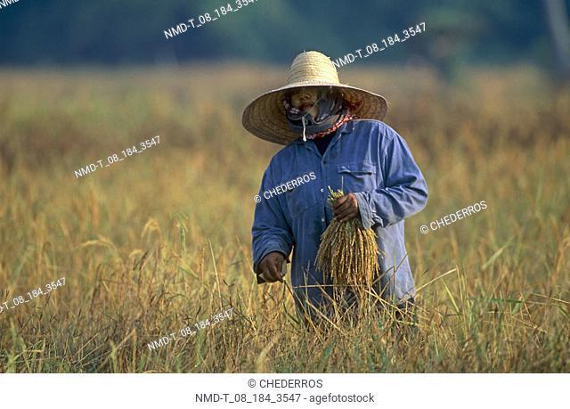 Farmer holding rice saplings in a field, Thailand