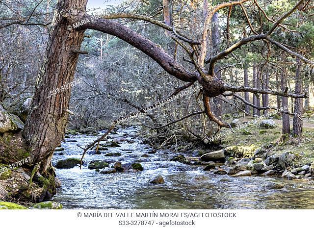 Pines over River Lozoya in La Angostura. Rascafria. Madrid. Spain. Europe