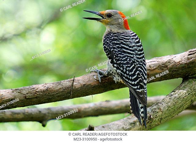 A young red-bellied woodpecker, Melanerpes carolinus,has his say,Pennsylvania,USA