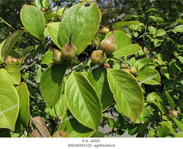 Japanese stewartia (Stewartia pseudocamellia), fruiting