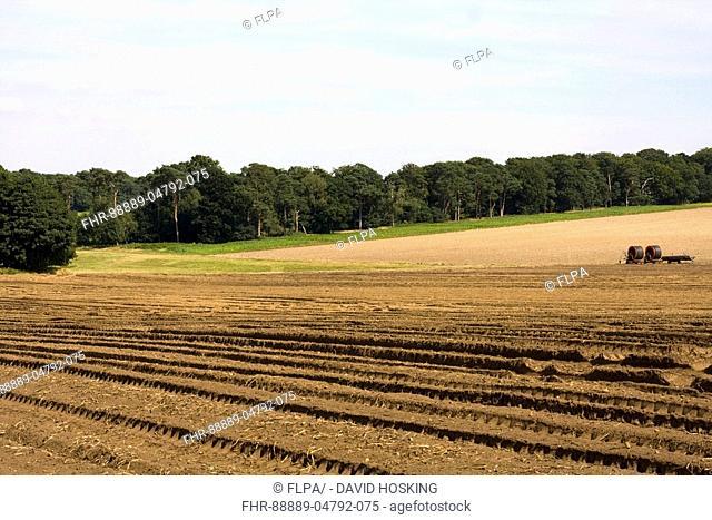 Typical breckland farmland with pine woodland bordering light sandy fields – Norfolk