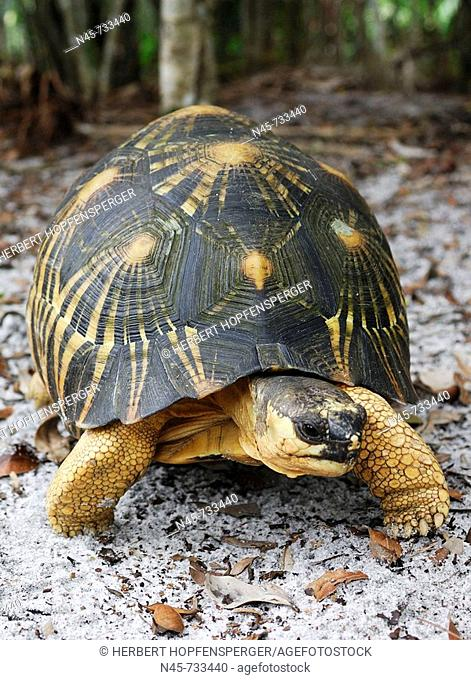 Radiated Tortoise (Geochelone radiata)